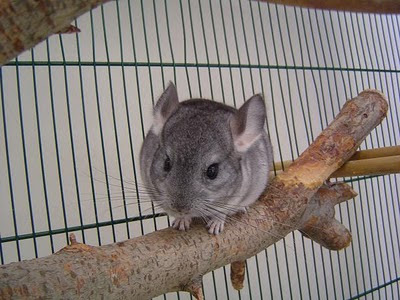 Chinchillas Chin_05