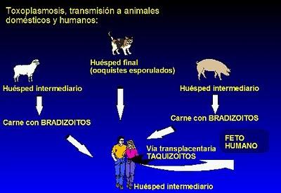 Sanidad del gatito Gato_Toxo2
