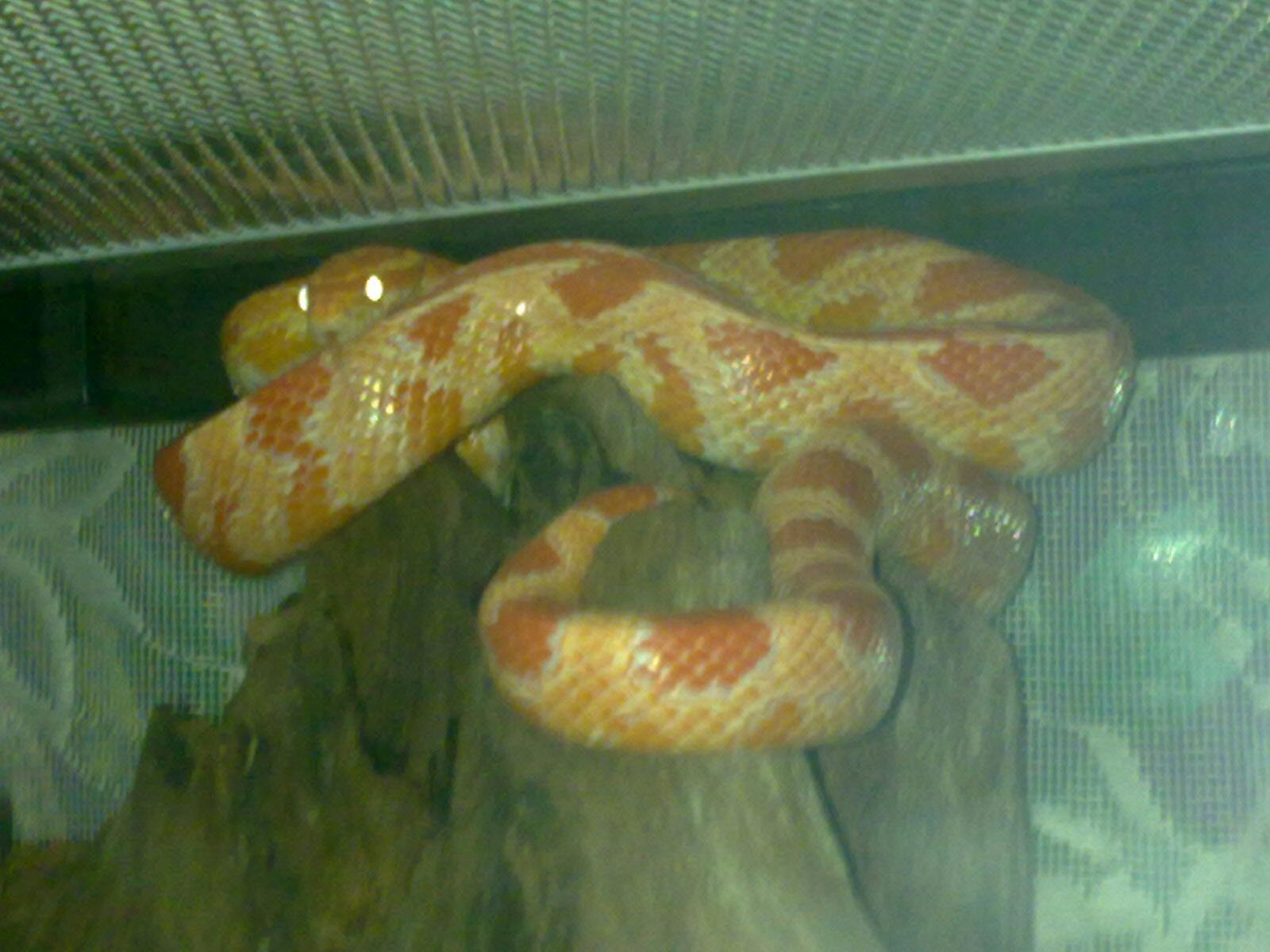 Baby Candy Cane Corn Snake Albino Candy Cane Corn Snake