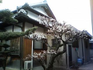 Japanese Plum(ume)