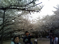 cherry blossoms in Eiraku dam