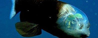 Notícias - Conheçam o peixe de cabeça transparente. Peixe+macropina_392