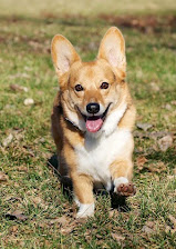 Lance the Corgi