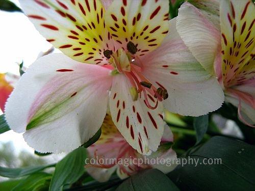 Alstroemeria flower macro
