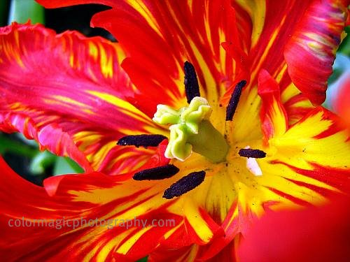 Red parrot tulip-macro photo