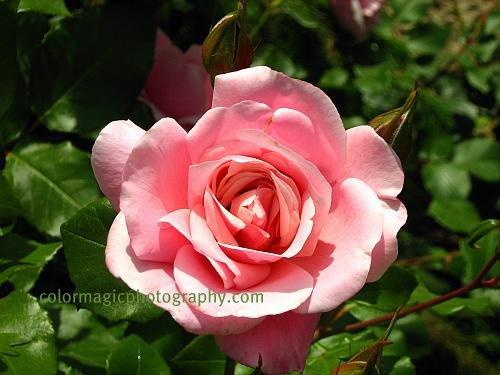 single pink rose rose photo. Black Bedroom Furniture Sets. Home Design Ideas