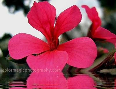 Pink-magenta geranium-macro photo