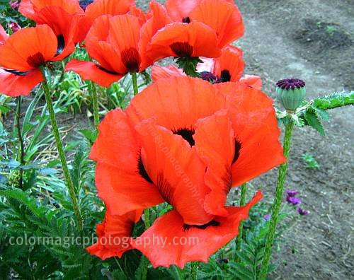 Red poppies-Papaver Royal Wedding