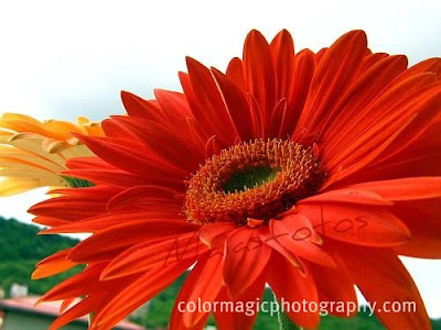 Bright red Gerbera-macro photography