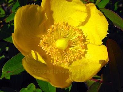 Hypericum 'Hidcote'- St. John's Wort bright yellow flowers