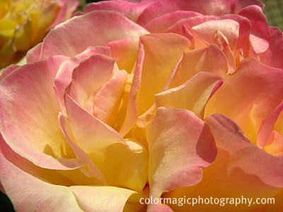 Pink-yellow rose petals-closeup