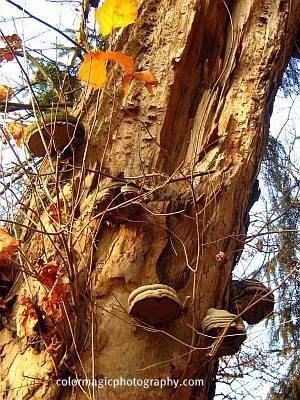 Tree mushroom-shelf fungi
