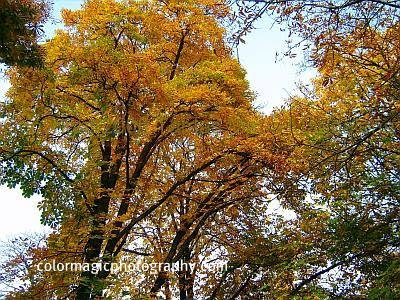 Autumn trees-yellow leaves