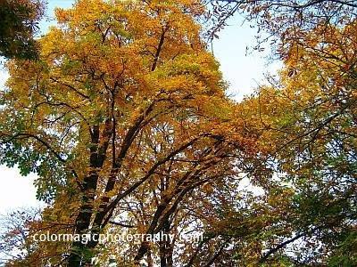 Autumn trees-yellow leaves