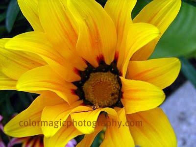 Yellow gazania macro