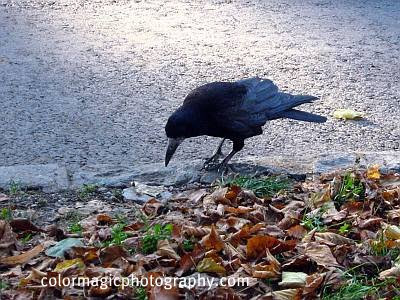 Carrion Crow-Corvus corone
