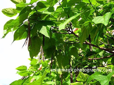 Catalpa bean pods