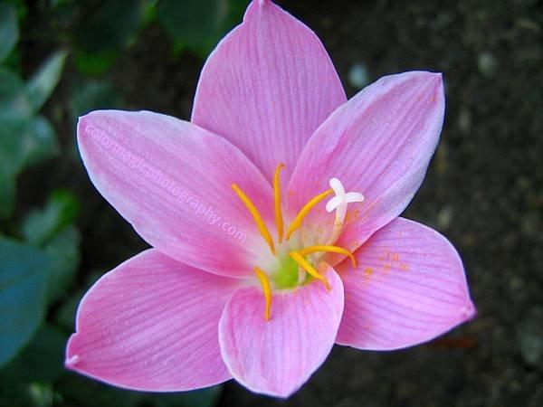 Pink Rain lily macro