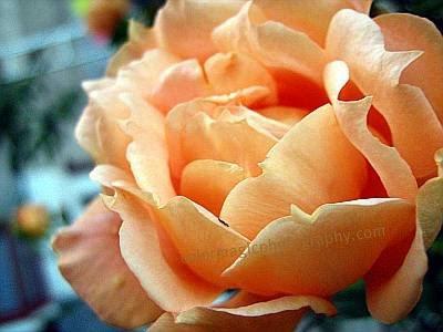 Apricot rose head macro