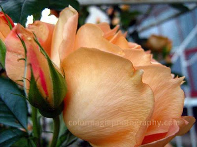 Apricot rose close-up