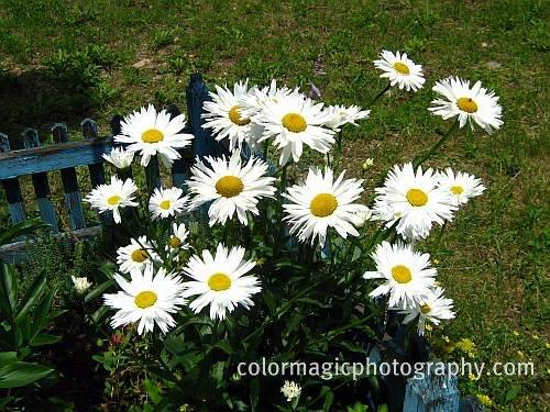 Bunch+of Shasta daisies