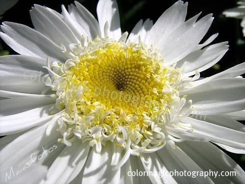 Shasta daisy-macro