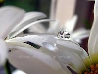 Daisy in raindrop-macro