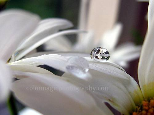 Daisy in raindrop-macro