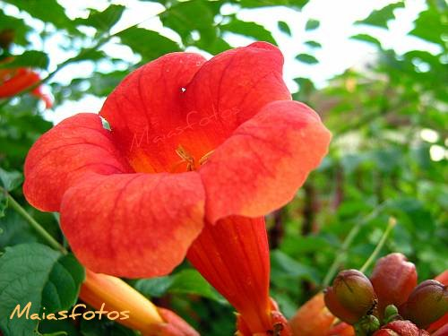 Trumpet Vine flower macro