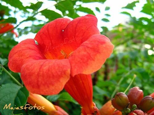 Trumpet Vine flower macro