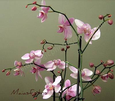 Pink Phalaenopsis-Pink orchid