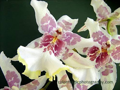 Cambria orchid-close up-Beallara