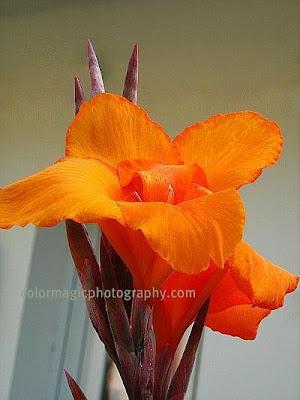 Canna lily macro