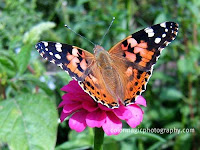 Painted lady Butterfly-close up