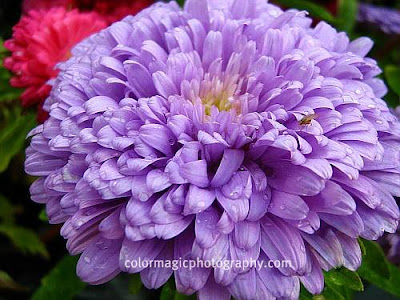Purple aster-macro