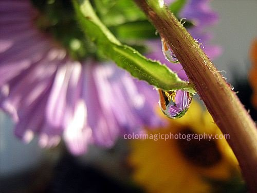 Purple aster with raindrops
