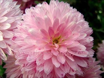 Pink chrysanthemum-macro