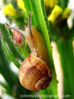 Garden snail with broken house