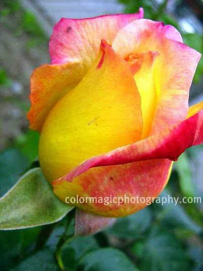Red-yellow rose bud-close up