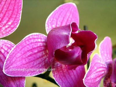 Purple orchid-close up