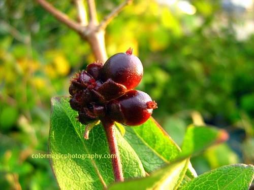 Goldflame Honeysuckle berries