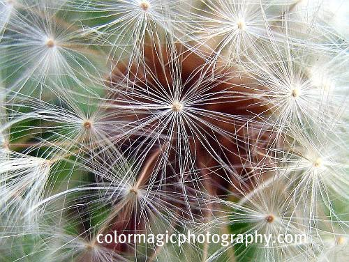 Dandelion clock-extreme close-up of dandelion seeds
