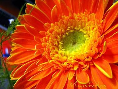 Orange gerbera-macro