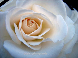 Beautiful white rose-macro
