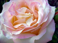 Pink beauty-rose