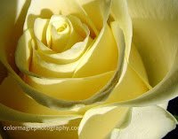 Yellow rose-closeup