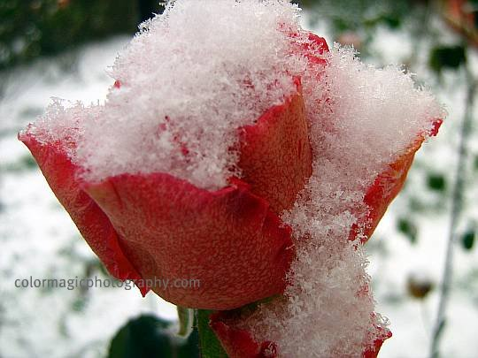 Rose covered with snow-December