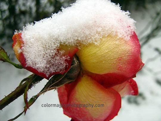 December rose in snow