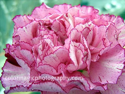 Pink carnation flower with purple edges-macro photo