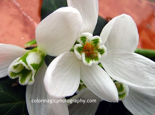 Snowdrop flowers - close-up view from below 